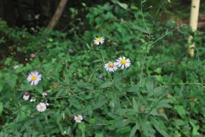 20140930ヨメナの花 (2)