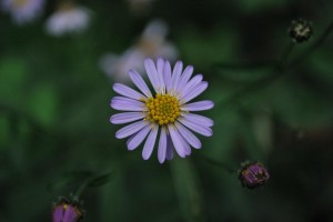 20140930ヨメナの花 (3)