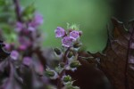シソ紫蘇Perilla frutescens var. crispa8~10月