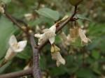 ナワシログミ苗代茱萸Elaeagnus pungens10~11月