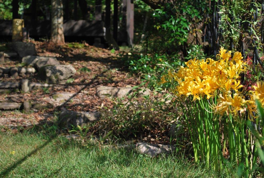 20141006ヒガンバナの花(黄色) (1)