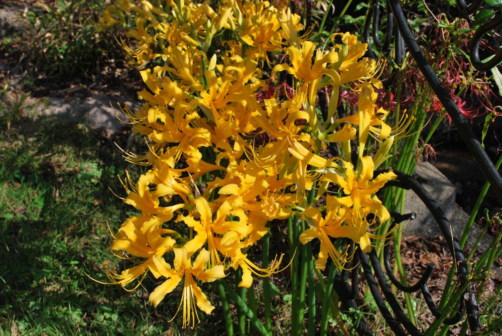 20141006ヒガンバナの花(黄色) (2)