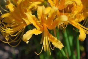 20141006ヒガンバナの花(黄色) (3)
