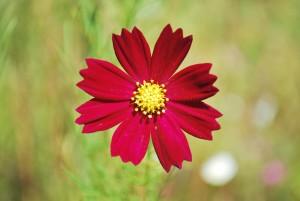 20141009コスモスの花 (2)