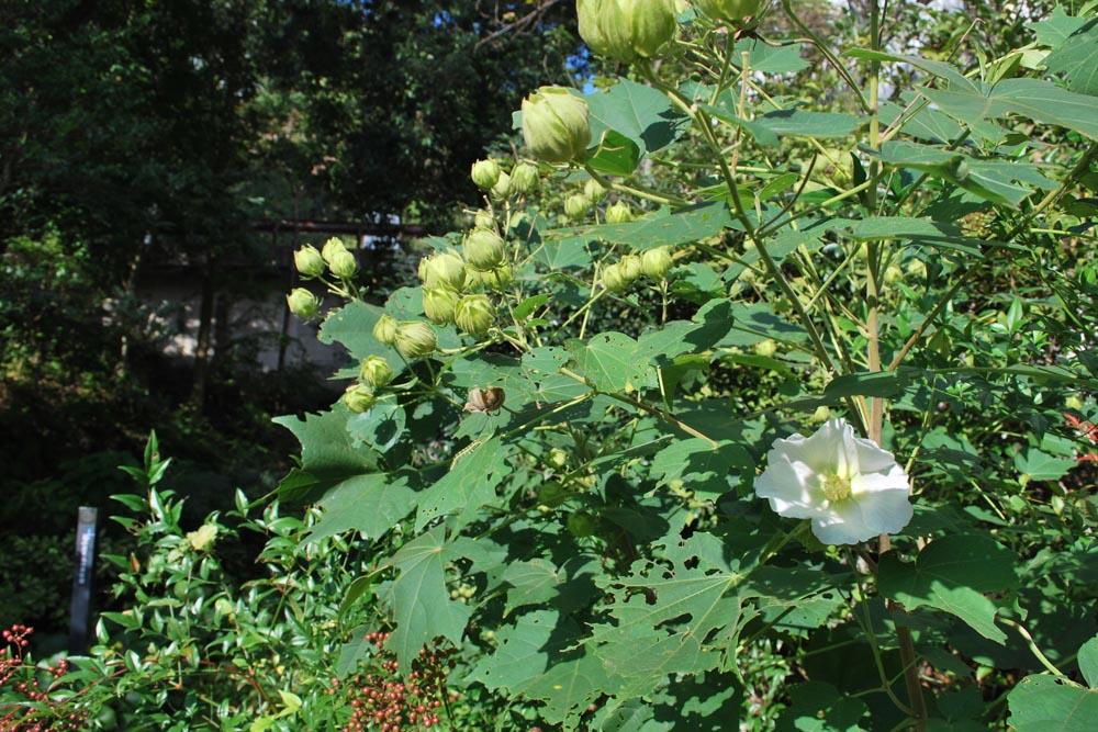 フヨウ芙蓉Hibiscus mutabilis7~10月