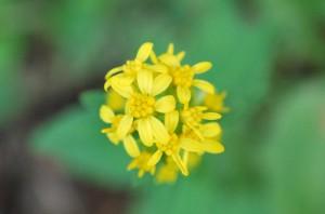 20141022アキノキリンソウの花 (1)