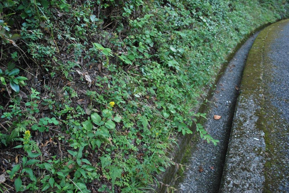 20141022アキノキリンソウの花 (2)