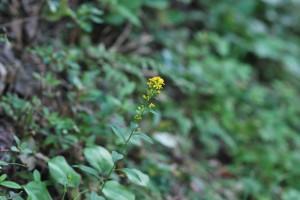 20141022アキノキリンソウの花 (3)