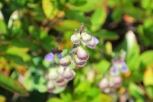 20141023オカタツナミソウの果実