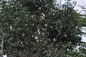20141031サクラの花が咲きました (2)-2