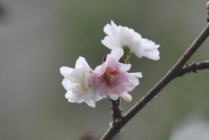 20141031サクラの花が咲きました (3)-2