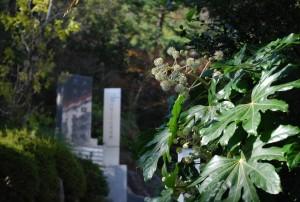 20141106ヤツデの花 (1)