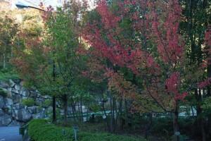 20141108紅葉が見ごろを迎えました3 (2)
