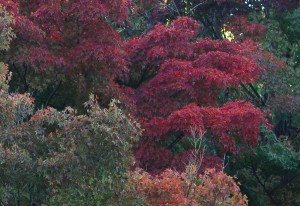 20141108紅葉が見ごろを迎えました3 (4)