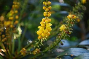 20141109ホソバヒイラギナンテンの花 (1)