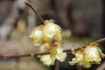 ソシンロウバイ素心蝋梅Chimonanthus praecox form. concolor1~2月
