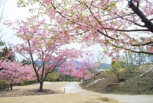 20150320桜の花が満開です (1)