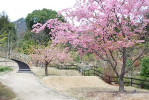 20150320桜の花が満開です (2)
