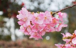 20150320桜の花が満開です (3)