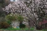 20150320桜の花が満開です (4)