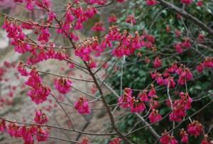 20150320桜の花が満開です (5)
