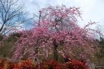 20150320梅の花も満開です! (2)