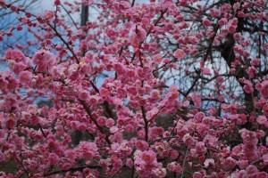 20150320梅の花も満開です! (3)