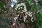 20150322アセビ馬酔木Pieris japonica3~5月