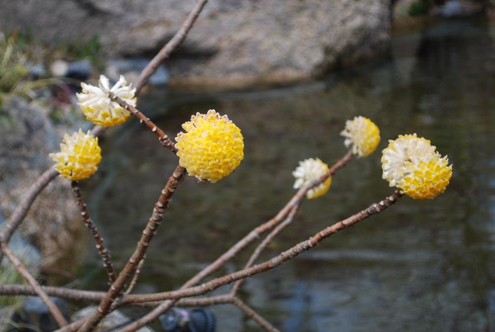20150322ミツマタの花 (1)