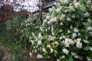20150325ジンチョウゲの花 (1)