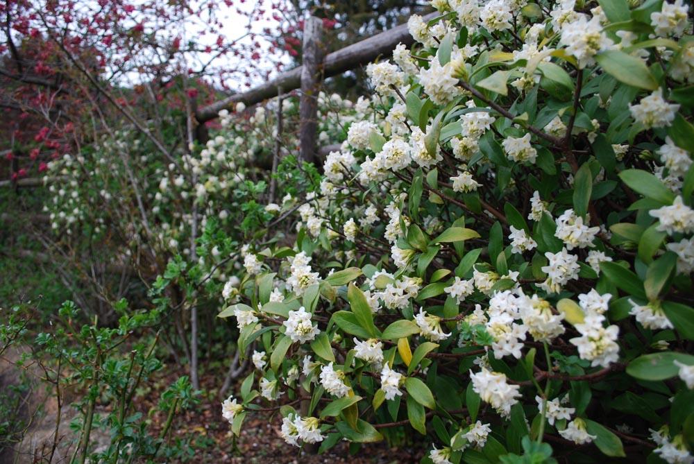 ジンチョウゲ沈丁花Daphne odora3~4月