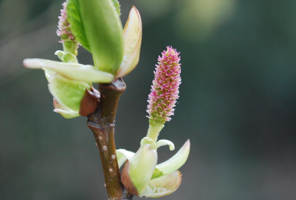 オオバヤシャブシ大葉夜叉五倍子(雌花)Alnus sieboldiana3~4月