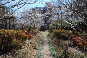 20150327梅の花も満開です!! (1)