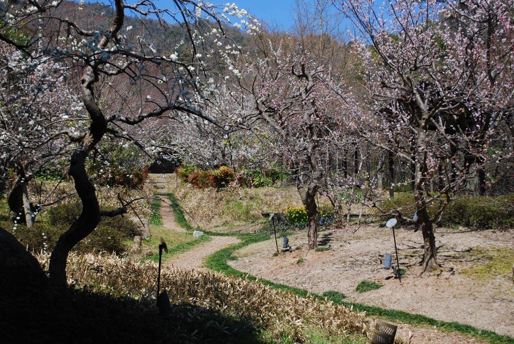 20150327梅の花も満開です!! (3)