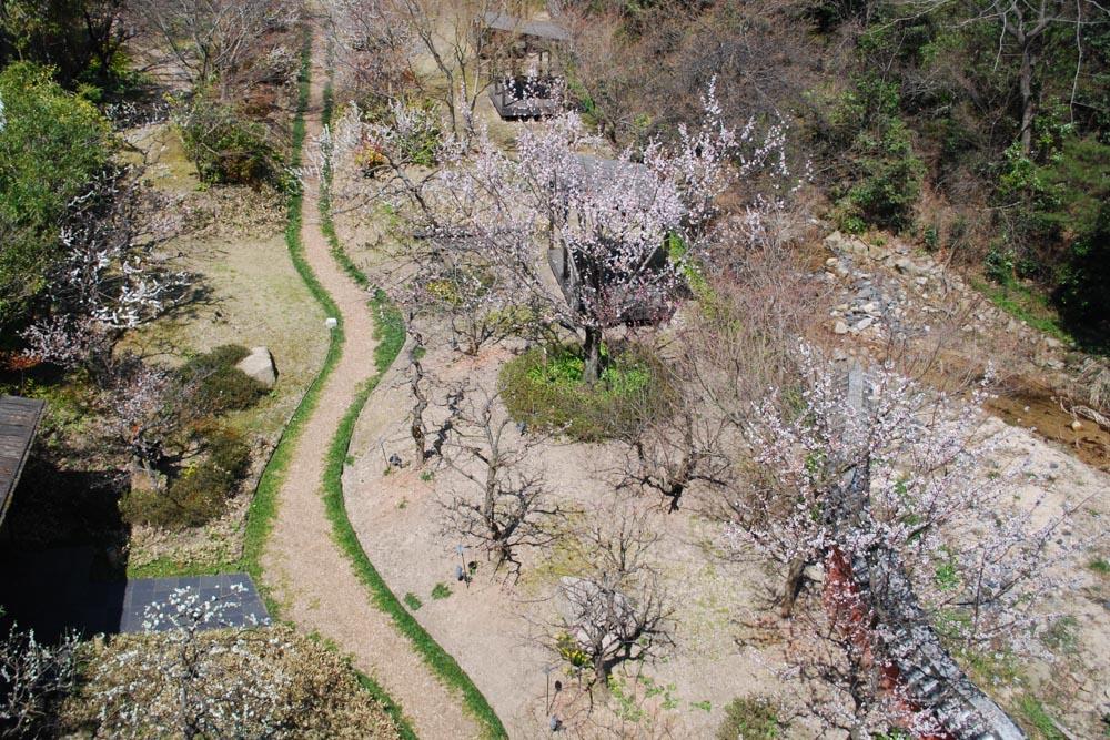 20150327梅の花も満開です!! (4)