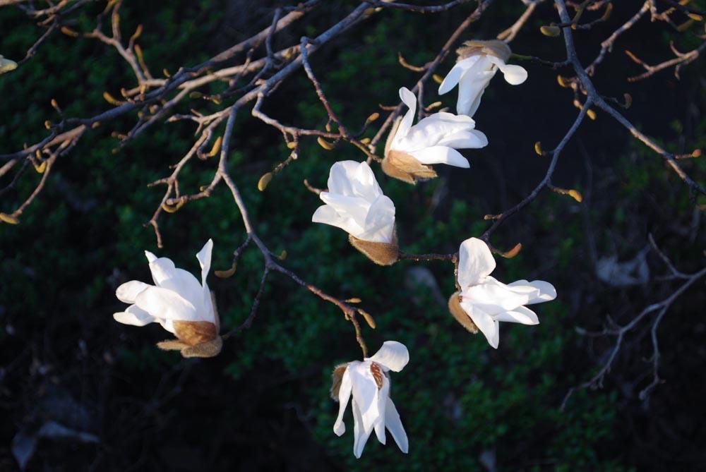 20150329コブシ(辛夷)のつぼみが開きました (3)