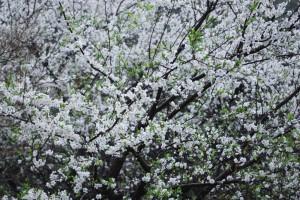 20150404スモモ の花 (2)