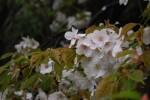 20150407シダレザクラ枝垂桜Cerasus spachiana 3~4月