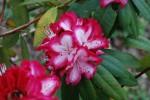 シャクナゲ石楠花Rhododendron sp. 4~5月