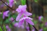 コバノミツバツツジ小葉の三葉躑躅Rhododendron reticulatum3~4月