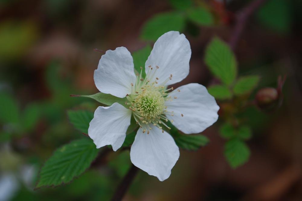 シロバナノヘビイチゴ白花の蛇苺Fragaria nipponica5~7月