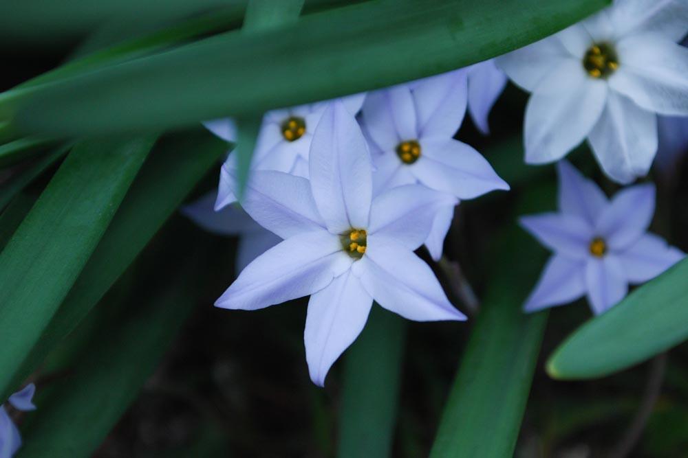 ハナニラ花韮Ipheion uniflorum3~4月