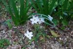 20150407 ハナニラ花韮Ipheion uniflorum3~4月