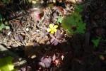 アカカタバミ赤傍食Oxalis corniculata form. rubrifolia5~9月