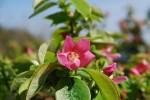 カリン榠樝Chaenomeles sinensis4~5月