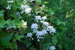 20150423春の草花 イベリス (2)