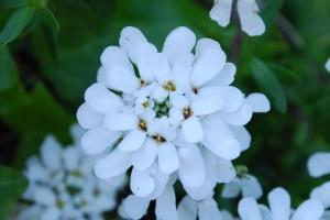 20150423春の草花 イベリス (3)