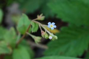 20150423春の草花 キュウリグサ (1)