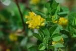 コメツブツメクサ米粒詰草Trifolium dubium5~7月