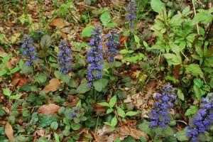 20150423春の草花 セイヨウジュウニヒトエ (2)